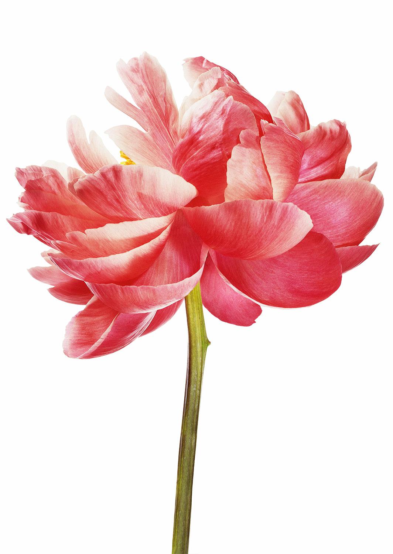 Still life Photographie Fotografie Studio Perfumes Isabel New York Ceylon Blume Flower Pfingstrose Peony Idris Kolodziej