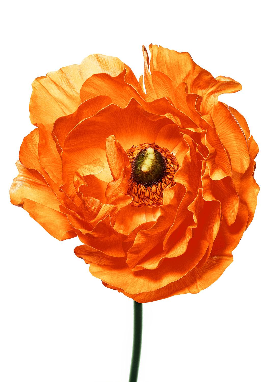 Still life Photographie Fotografie Studio Perfumes Isabel New York Mandarin Mohnblume Poppy Flower Idris Kolodziej